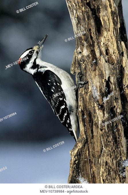 Hairy Woodpecker - On tree (Picoides villosus)