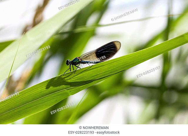 Calopteryx splendens, Banded Demoiselle, male dragonfly from Lower Saxony, Germany, Europe
