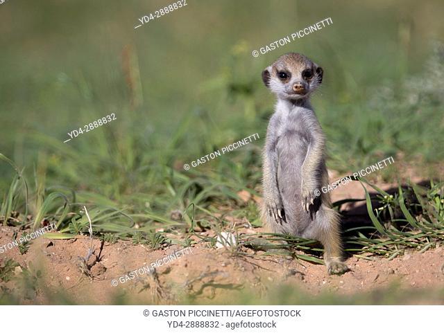 Suricate (Suricata suricatta) - Young, Kgalagadi Transfrontier Park, Kalahari desert, South Africa/Botswana