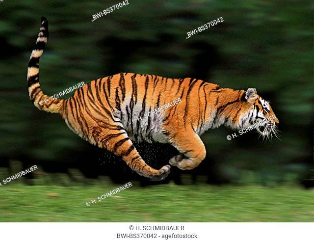 tiger (Panthera tigris), lateral running, action