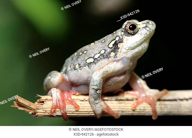 Painted reed frog Hyperolius marmoratus South Africa