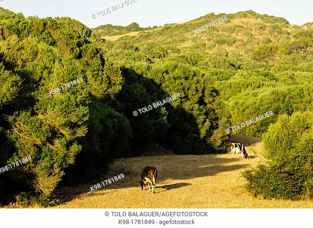 Friesian Cows, Finca Santa Cecilia, Ferreries, Menorca, Balearic Islands, Spain, Europe