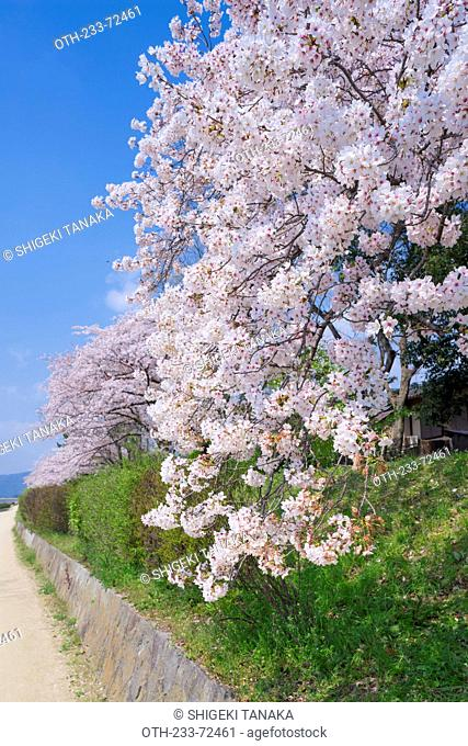 Cherry blossoms, Kamo river(Kamo-gawa), Shimogamo, Kyoto, Japan