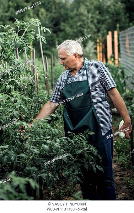 Gardener looking at plants in garden