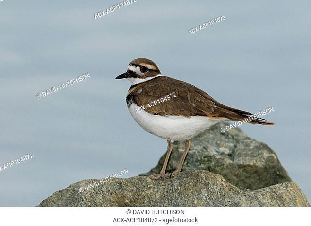 Kill deer(Charadrius vociferus) Shola Barbour Bird Sanctuary, Sidney, BC, Canada