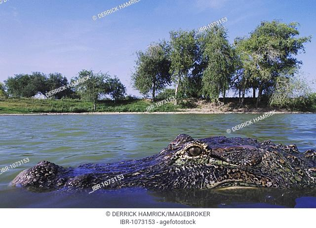 American Alligator (Alligator mississipiensis), adult in pond habitat, Rio Grande Valley, Texas, USA