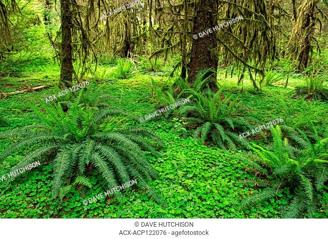 Hall of Mosses Trail, Hoh Rainforest, Olympic National Park, Washinton, USA
