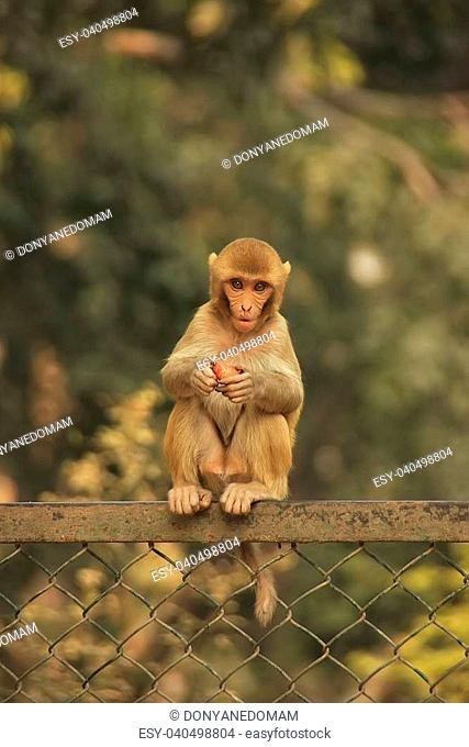 Young Rhesus Macaque sitting on a fence, New Delhi, India