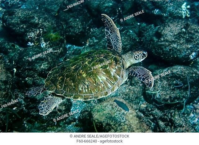 Green sea turtle, Chelonia mydas, St. Peter and St. Paul's rocks, Brazil, Atlantic Ocean