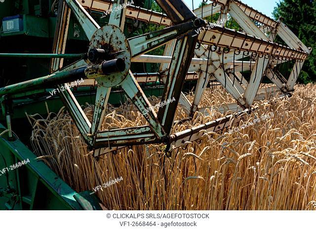 Italy, Trentino Alto Adige, Val di Non, wheat harvest in Non Valley