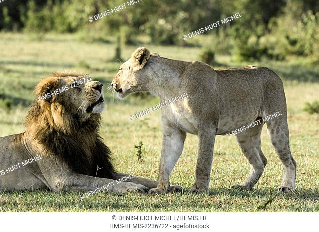 Kenya, Masai-Mara Game Reserve, lion (Panthera leo), young female greeting friendly one of the big males of the pride
