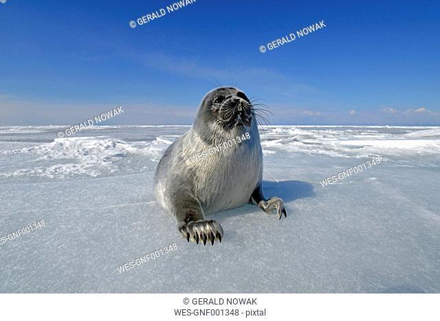 Russia, Lake Baikal, Baikal seal on frozen lake