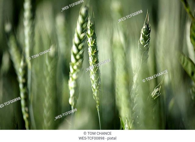 Germany, Bavaria, Irschenhausen, Wheat field, Triticum sativum, close-up