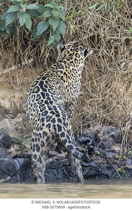An adult female jaguar, Panthera onca, on the riverbank of Rio Tres Irmao, Mato Grosso, Brazil