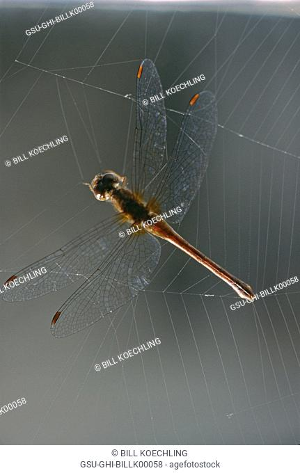 dragonfly, spider web, insect