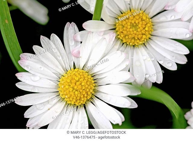 Common Daisy, Bellis perennis  Flower heads sprinkled with raindrops against dark background  Close up, filled frame