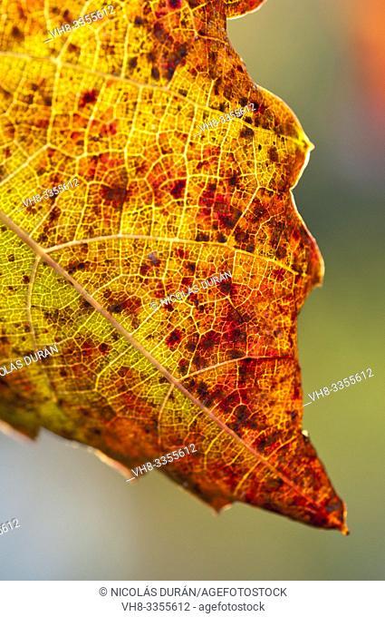 Vitis vinifera autumn backlight, Extremadura, Spain