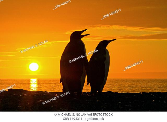 King penguins Aptenodytes patagonicus at sunrise on South Georgia Island, Southern Ocean  MORE INFO The king penguin is the second largest species of penguin at...