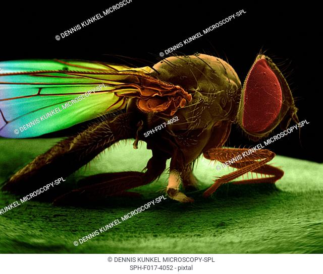 Coloured scanning electron micrograph (SEM) of House fly (Musca domestica). The house fly, Musca domestica, is a well-known cosmopolitan pest of both homes and...