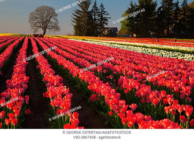 Tulip field, Wooden Shoe Bulb Co. , Clackamas County, Oregon