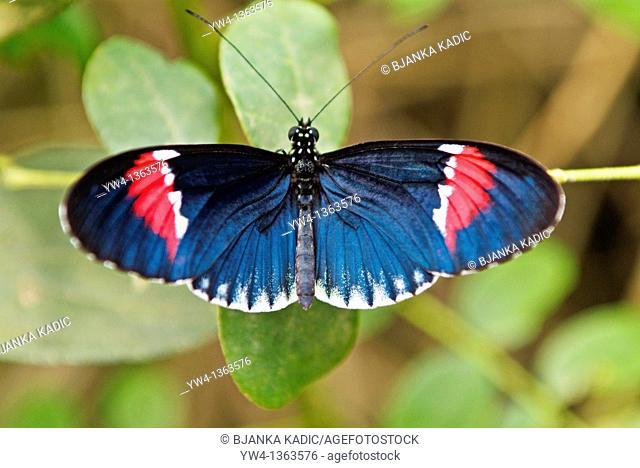 Butterfly HELICONIUS MELPOMENE, Mindo, Ecuador