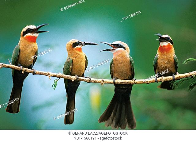White Fronted Bee Eater, merops bullockoides, Adults standing on Branch, Kenya