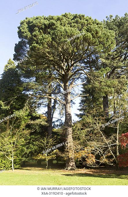 Shore pine tree, Pinus contorta, National arboretum, Westonbirt arboretum, Gloucestershire, England, UK