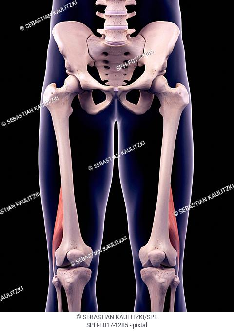 Illustration of the biceps femoris short muscles