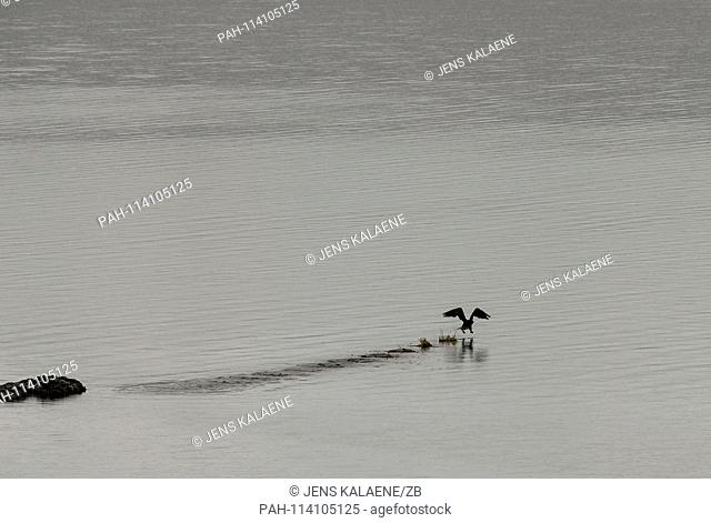 12.12.2018, Turkey, Didim: A cormorant starts to fly in the Bafasee. The water is an inland lake formed on the western coast of Turkey from an earlier inlet