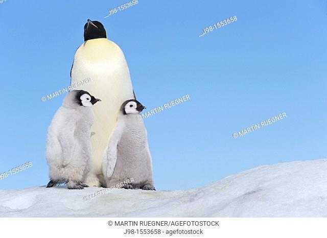 Emperor Penguin Aptenodytes forsteri adult and chicks  Snow Hill Island, Antarctic Peninsula, Antarctica