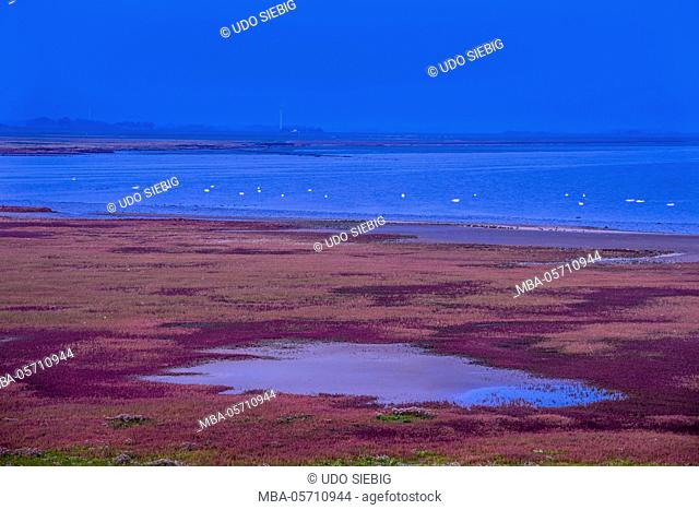 Germany, Schleswig-Holstein, North Frisia, peninsula north beach, Beltringharder Koog, salt meadows with glassworts, view close 'Lüttmoorsiel'