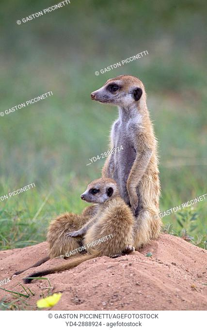 Suricate (Suricata suricatta) - Mother and youngs , watching. Always alert to the possible attack of a predator. While watching the rest of the group is...
