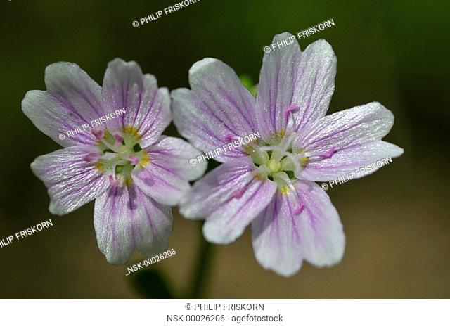 A close up of the Siberian Spring Beauty (Claytonia sibirica) near the Kniphorstbos, The Netherlands, Drenthe, Nationaal beek- en esdorpenlandschap Drentsche Aa
