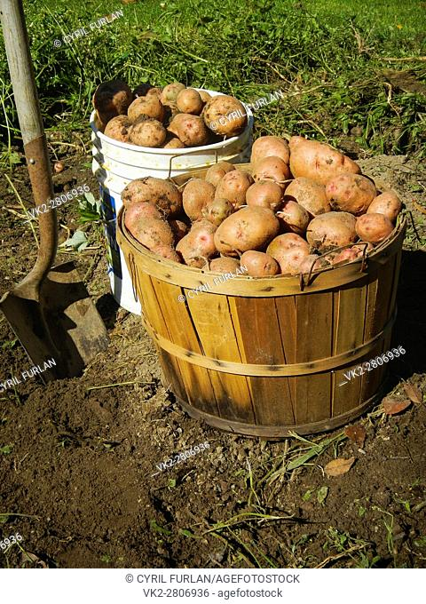 Growing a organic potato crop in the home vegetable garden,