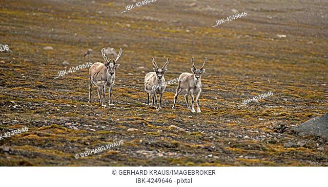Three Svalbard reindeer (Rangifer tarandus platyrhynchus) on tundra, Spitsbergen, Arctic, Norway