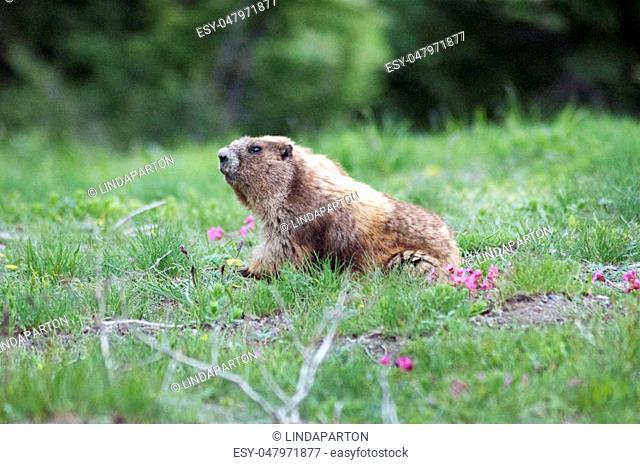 Marmot coming out of his hole in the grass in the Olympic Mts