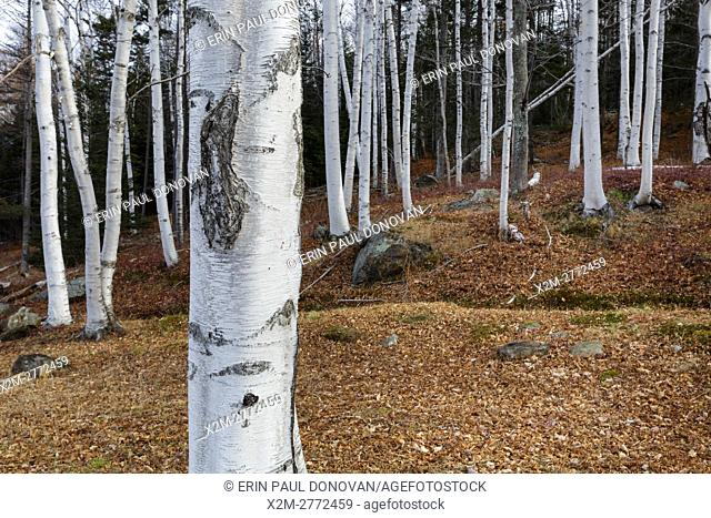 Birch trees in Pinkham Notch of the New Hampshire White Mountains during the autumn months