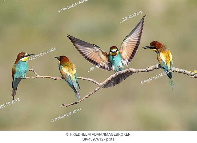 European bee-eaters (Merops apiaster), four birds, one in flight, Nickelsdorf, National Park Lake Neusiedl, Burgenland, Austria