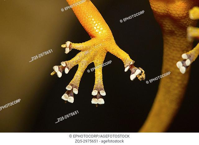 Lamellae of the golden gecko, Calodactylodes aureus . Visakhapatnam, Andhra Pradesh, India