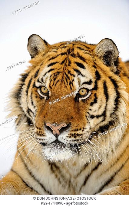 Siberian/Amur tiger Panthera tigris altaica, Bozeman, Montana, USA