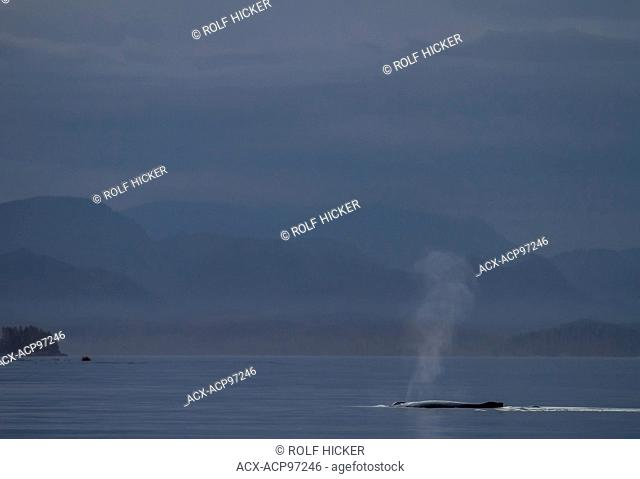 Humpback Whale (Megaptera novaeangliae) spouting peacefully after sunset in front of the British Columbia Coastal Mountains, Broughton Archipelago