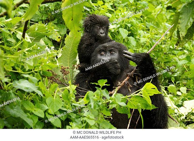 Mountain Gorilla, Gorilla gorilla beringei, Sabyinyo Group, Volcanoes National Park, Rwanda