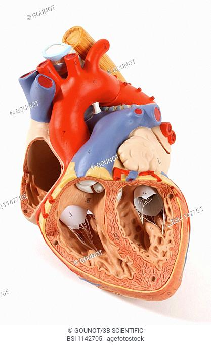 Model of the intern anatomy of the heart of an adult human body anterior view of a frontal section. The heart contains four cavities: two atriums in its upper...