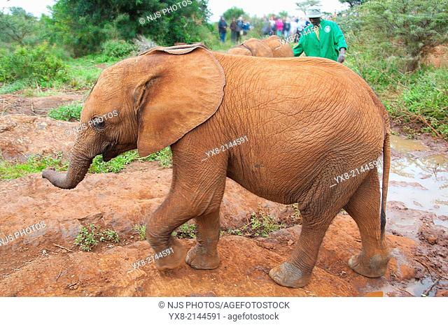 Lateral view of a walking elephant Loxodonta, David Sheldrick Wildlife Trust orphanage in Nairobi, Kenya, East Africa