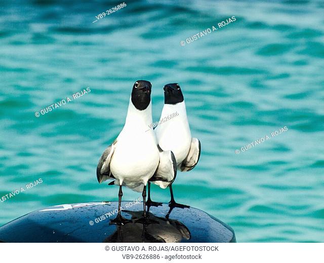 two Gull Bonaparte Chroicocephalus (Chroicocephalus philadelphia), archipiélago Los Roques Venezuela'