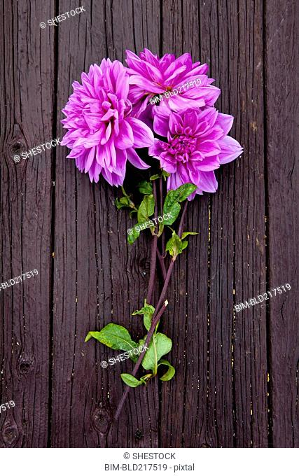 Close up of fresh dahlia flowers on board