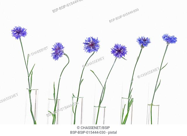 Beautiful blue cornflower in test tubes isolated on white background