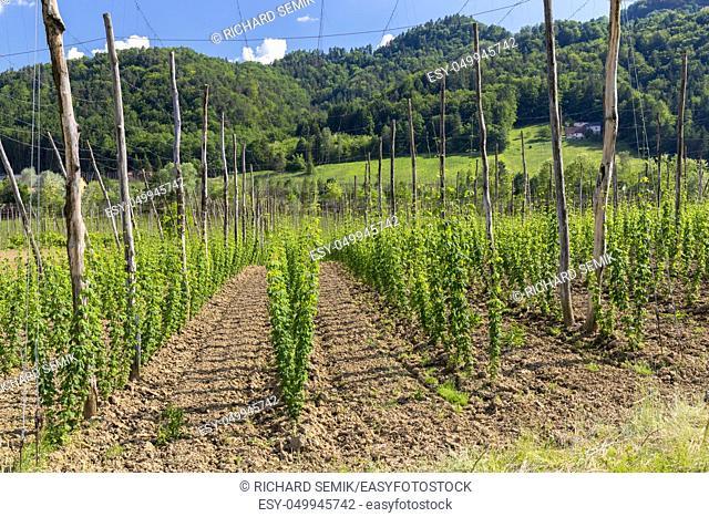 Hop garden in spring, Styria, Austria