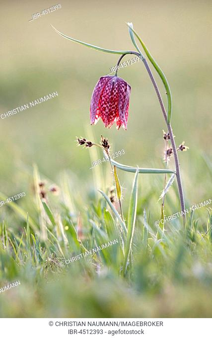 Snake's head (fritillaria meleagris), Hesse, Germany