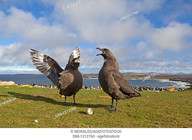 Falkland Islands , Pebble island , Falkland Skua Sea-hen ,  Catharacta antarctica  with an egg of penguin